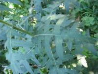 Echinops ritro subsp. ritro