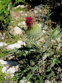 Cirsium echinatum