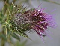 Cirsium odontolepis
