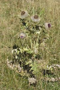 Cirsium eriophorum subsp. richterianum