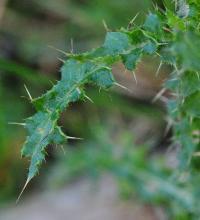Cirsium palustre