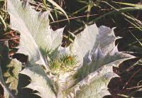 Onopordum acanthium subsp. acanthium