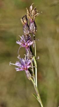 Serratula tinctoria subsp. seoanei