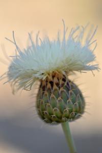 Serratula leucantha