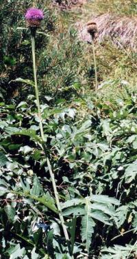 Leuzea cynaroides