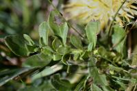 Centaurea lagascana