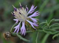 Centaurea aspera subsp aspera