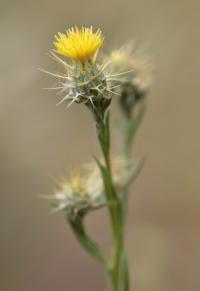 Centaurea melitensis