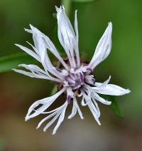Centaurea debauxii