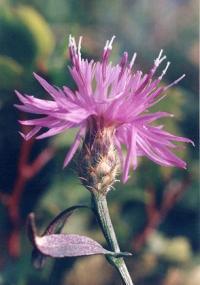 Centaurea panniculata