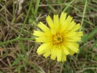 Hypochoeris maculata