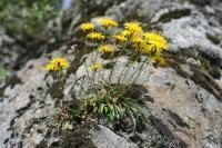 Leontodon pyrenaicus subsp pyrenaicus