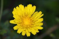 Sonchus tenerrimus