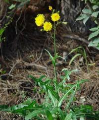 Sonchus arvensis subsp arvensis