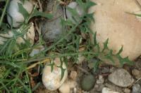 Lactuca viminea subsp. ramosissima