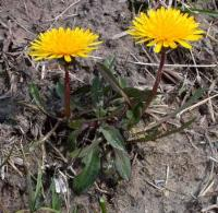 Taraxacum palustre