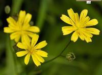 Lapsana communis subsp communis