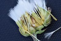 Crepis albida subsp albida