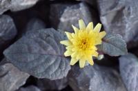 Crepis pygmaea subsp. pygmaea