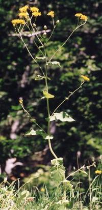 Crepis lampsanoides