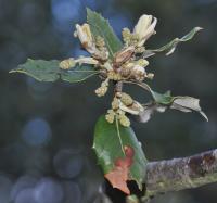 Quercus ilex subsp. ilex