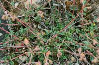 Helianthemum cinereum subsp. rotundifolium