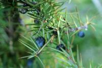 Juniperus communis subp. hemisphaerica