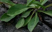 Hieracium cerinthoides