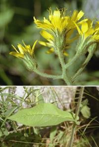 Hieracium prenanthoides