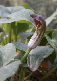 Arisarum vulgare subsp. vulgare