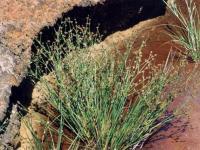 Juncus bulbosus