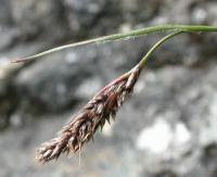 Luzula hispanica