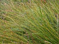 Scirpus cespitosus subsp. germanicus