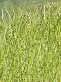 Scirpus maritimus subsp. maritimus