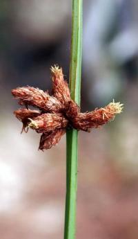 Scirpus triqueter