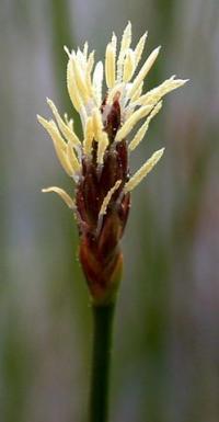 Eleocharis multicaulis
