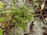 Cyperus michelianus subsp. michelianus