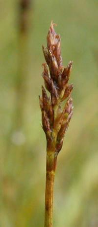 Kobresia simpliciuscula