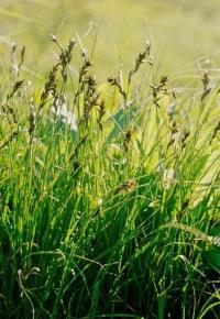 Carex ligerica