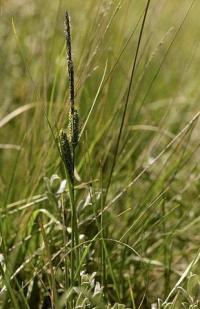 Carex trinervis