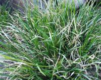 Carex sempervirens