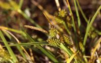 Carex viridula