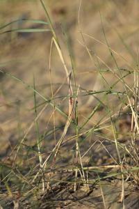 Festuca juncifolia