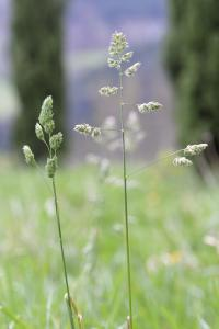 Dactylis glomerata subsp. glomerata