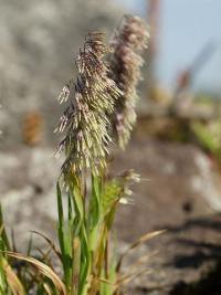 Lamarckia aurea