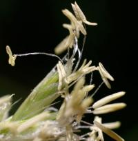 Sesleria argentea subsp. hispanica
