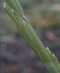 Elymus farctus subsp. boreoatlanticus