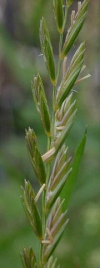 Elymus repens subsp. repens