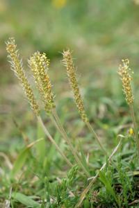 Plantago maritima subsp. maritima