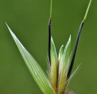 Avena barbata subsp. barbata